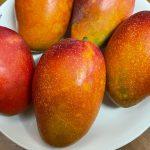 マンゴー収穫!